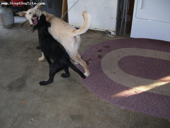 Labrador Retriever, 5 months, yellow, labradors at play.  daffy loves it when her neighbor comes over to play