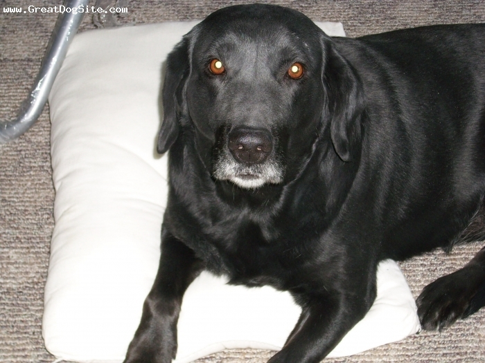 Labrador Retriever, 8 Years, Black, She is an angel! We are so blessed to have her. She is loveable, great tempered, and loyal.