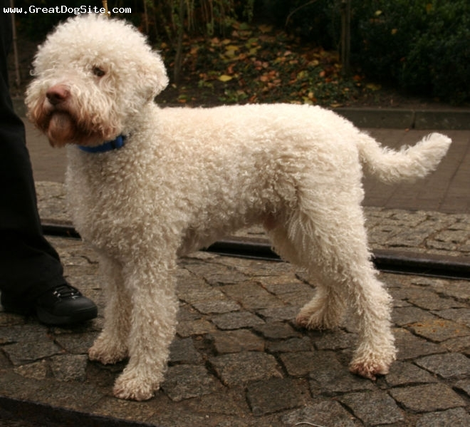 Lagotto Romagnolo, 11 months, White, as a puppy