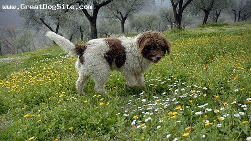 Lagotto Romagnolo, 2 years, Brown and White, great photo
