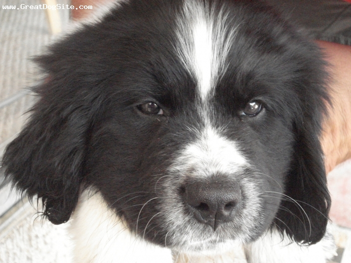 Landseer Newfoundland, 8 Weeks, White with black markings, Sadie is a beautiful girl. She is white with black patches, she has a black head with a white muzzle. She is our fluff ball.
