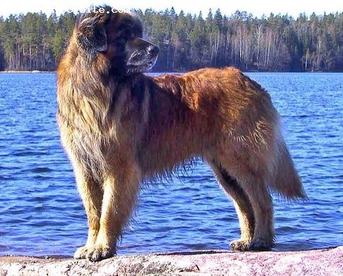 Leonberger, 2 years, Brown, another