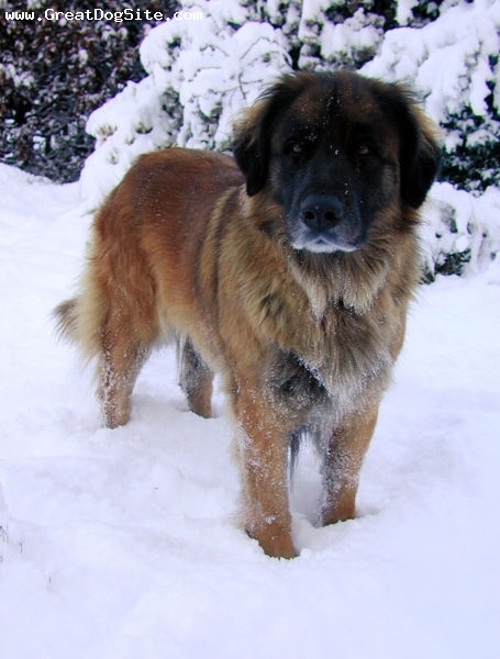 Leonberger, 9 months, Brown, in the snow
