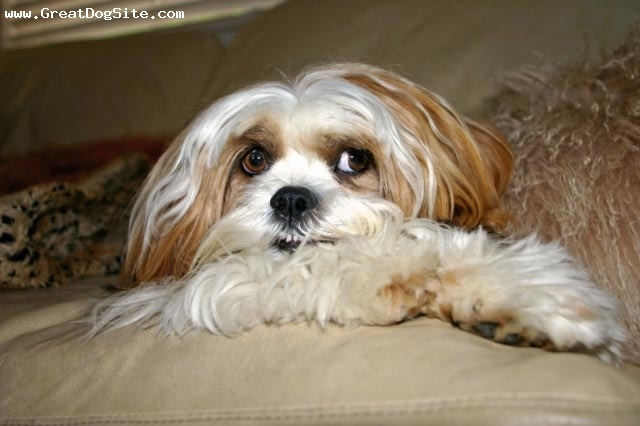 Lhasa Apso, 1.5 years, Parti-Color, Courtesy of S. Shaffer.  Her beautiful dog Tammy.
