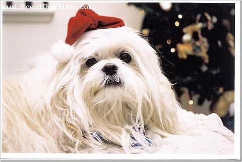 Lhasa Apso, 10 + years, White, Recently passed.  Courtesy of S. Shaffer