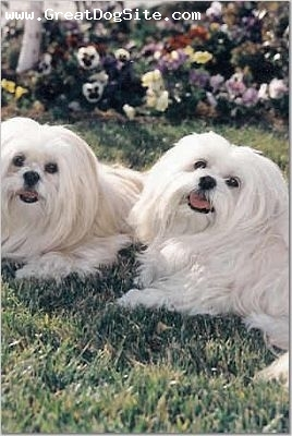 Lhasa Apso, 10+ years, White, Courtesy of S. Shaffer.