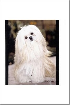 Lhasa Apso, 13 years, White, Courtesy of S. Shaffer