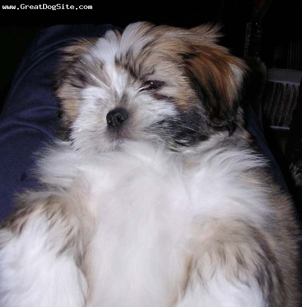 Lhasa Apso, 2 mos., Creme,, Just a baby
