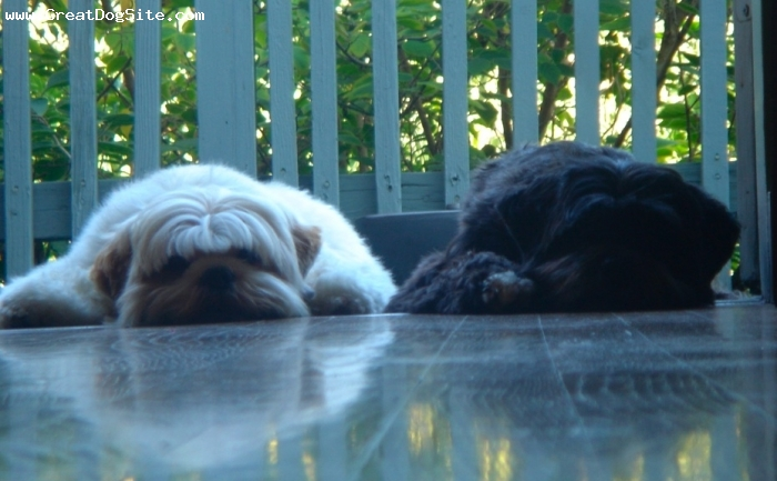 Lhasa Apso, 2 yrs., Creme,  Black $ White, best friends