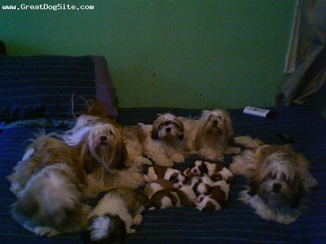 Lhasa Apso, 5, brown white, Her with daughters son and grand babies