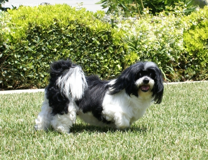 Lhasa Apso, 7, black & white parti-colored, Rest in Peace, my sweety.  This is Charley's mom.  She was much more affectionate than most Lhasas and always wanted to be on my lap.  She was a rescue dog.  Since she was abused in a show kennel she was afraid of people when we got here.