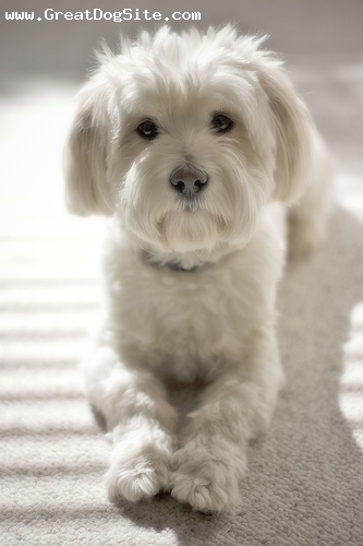 Lhasa Apso, 8 months, Cream, another