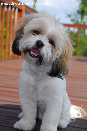 Lhasa Apso, 8 months, White, his younger days