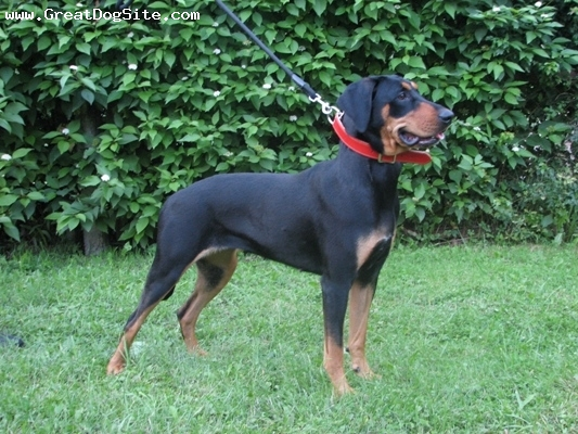 Lithuanian Hound, 2.5, Black with dapples, Lithuanian national breed