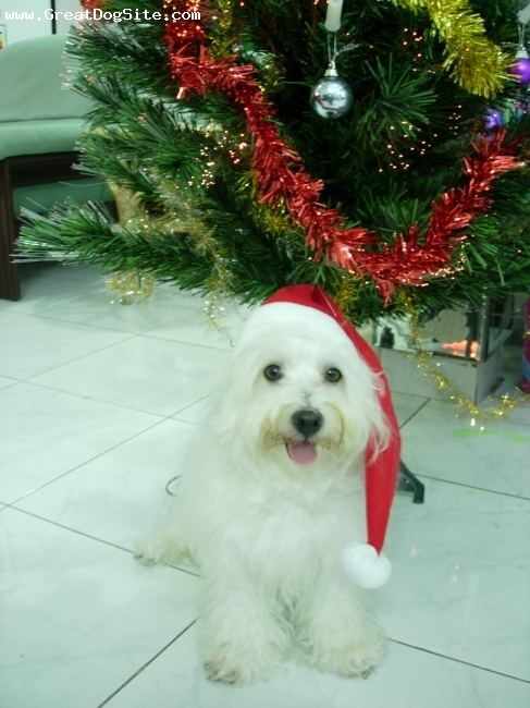 Maltese, 2 Years, White, Lovable dog and Merry X-mas Everyone!!!