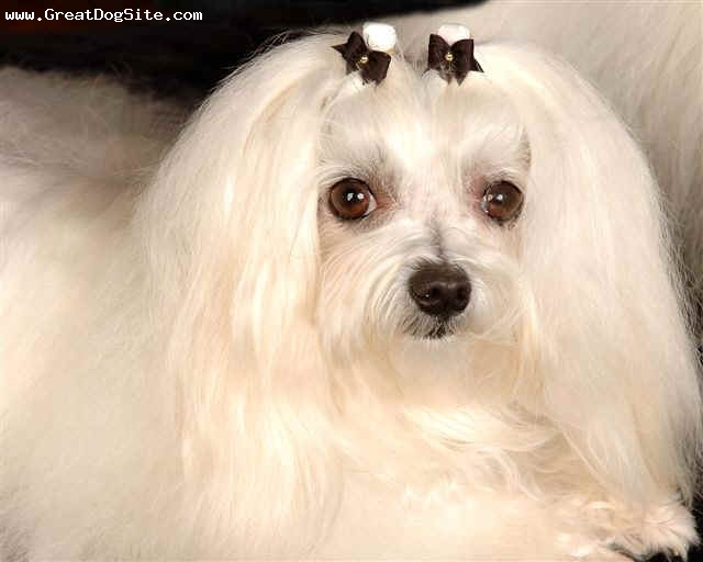 Maltese, 2 years, White, Chloe is in the Show Ring and doing very well. She is a very small little girl with stunning good looks and a great personality.