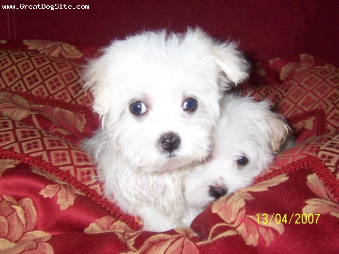 Maltese, 7 weeks, White, These boys are brothers and have the most adorable baby doll faces. They are very small to type from championship bloodlines