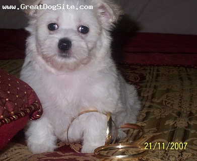 Maltese, 9 weeks, white, Misha is a beautiful little girl. Her ancestors were Australian Champions.She has a playful and gentle personality.