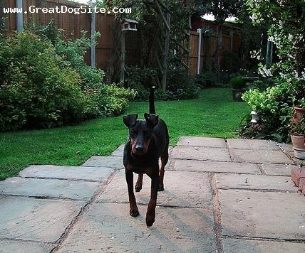 Manchester Terrier, 1 year, Black, running around