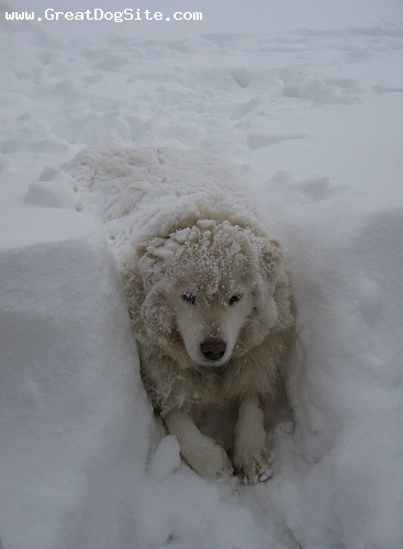 Maremma Sheepdog, 1 year, White, Laying in the snow