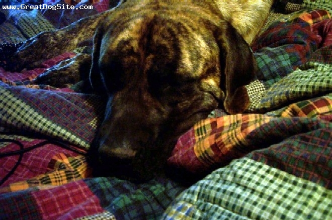 Mastiff, 1, brindle, Nap Time!