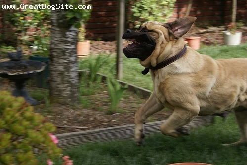 Mastiff, 2 years, Fawn, Hes not mean.  he just like running