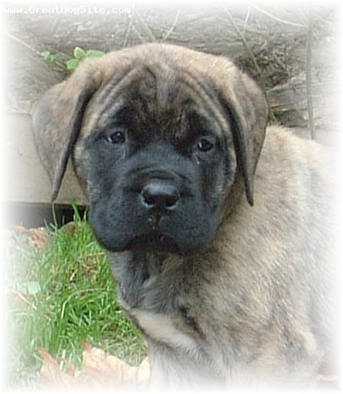 Mastiff, 3 years, fawn,  Puppy bred by Island West Mastiffs