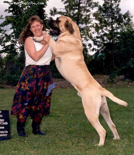Mastiff, 3 years, fawn,  Bred and owned by Island West Mastiffs
