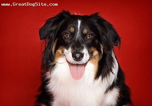 Miniature Australian Shepherd, 2 years, Tri Color, in my photo shop