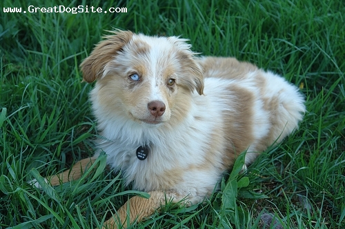 Mini Australian Shepherd Brown