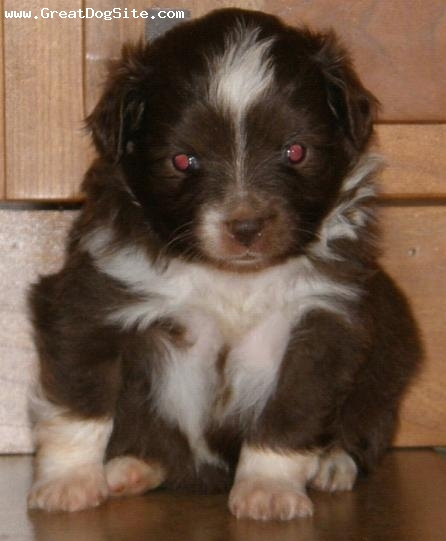 Miniature Australian Shepherd, 4 weeks, red bi color, One of our available puppies here at