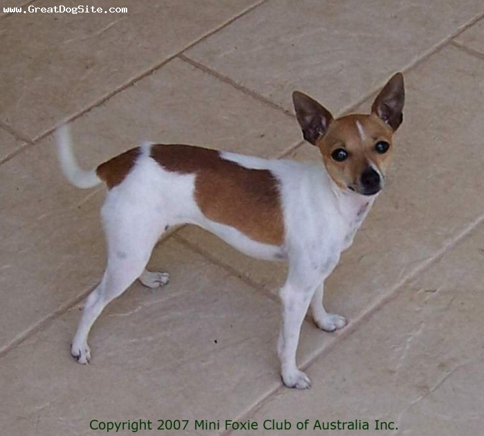 Miniature Fox Terrier, 1 year, Tan and White, MFCA registered. Diminutive and elegant, Heidi is an example of the smaller Mini Foxies. Height stands at just 9.5 inches. Photo used with the permission of the Mini Foxie Club of Australia Inc.