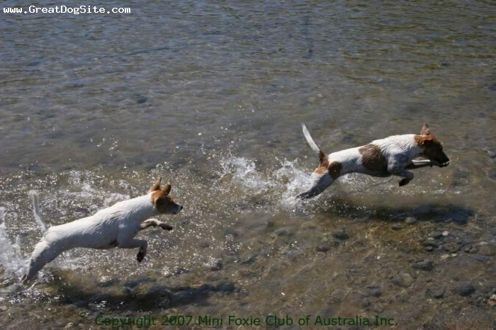 Miniature Fox Terrier, 2 years, Tan and White, MFCA registered dogs. USA. Racing through a mountain stream. Photo used with the permission of the Mini Foxie Club of Australia Inc.