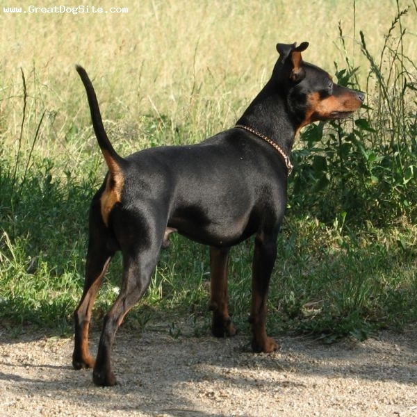 Miniature Pinscher, 1 year, Black, my min pin on point