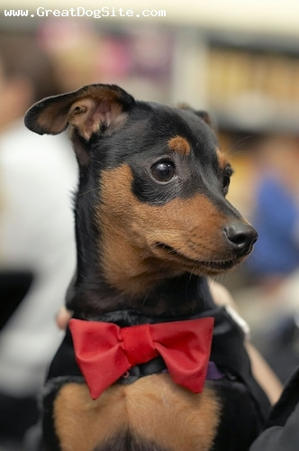 Miniature Pinscher, 1 year, Black, in his tux