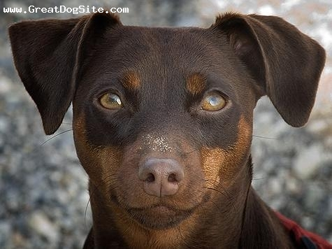 A photo of a 1 year old, Brown, Miniature Pinscher - Third ...