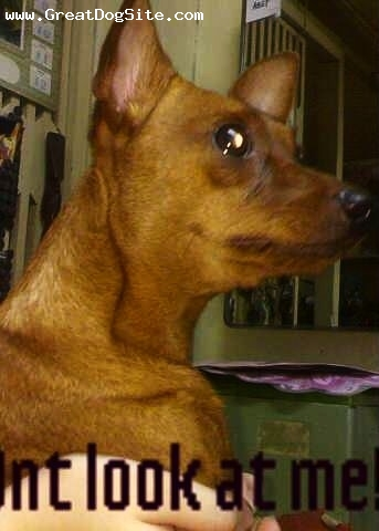Miniature Pinscher, 2yrs old, brown, sweet