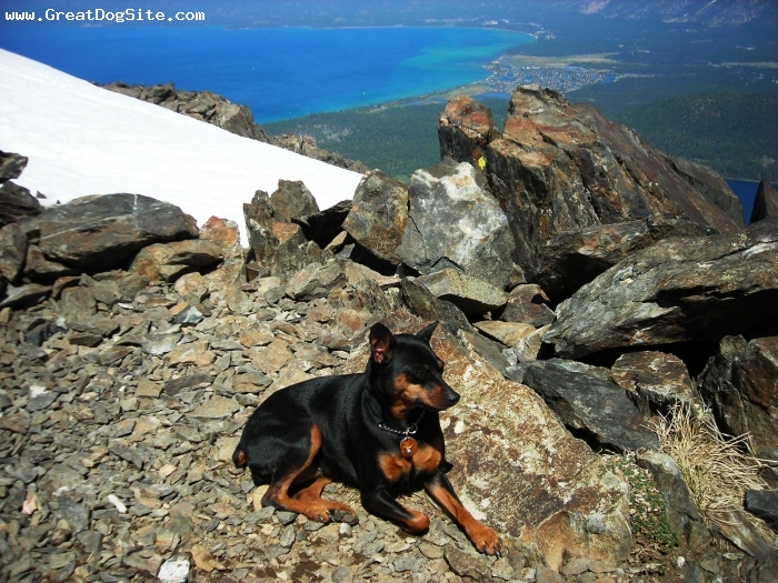 Miniature Pinscher, 4, Black & Tan, This is my 4 1/2 year old Min Pin, Tilly, resting after hiking up to the top of Mt. Tallac in S. Lake Tahoe last Spring.  Whatta Trooper!!!!!