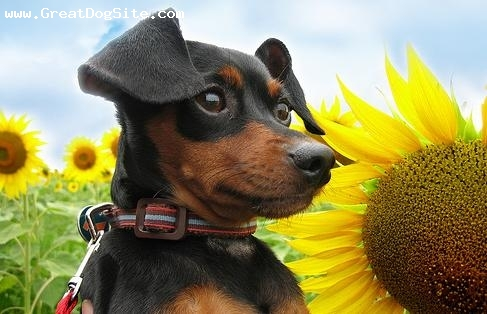 Miniature Pinscher, 6 months, Black, photo op in some flowers