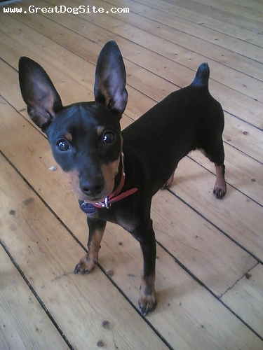 Miniature Pinscher, 9 months, Black, big ol ears