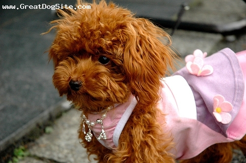 Miniature Poodle, 2 months, Brown, in her dress