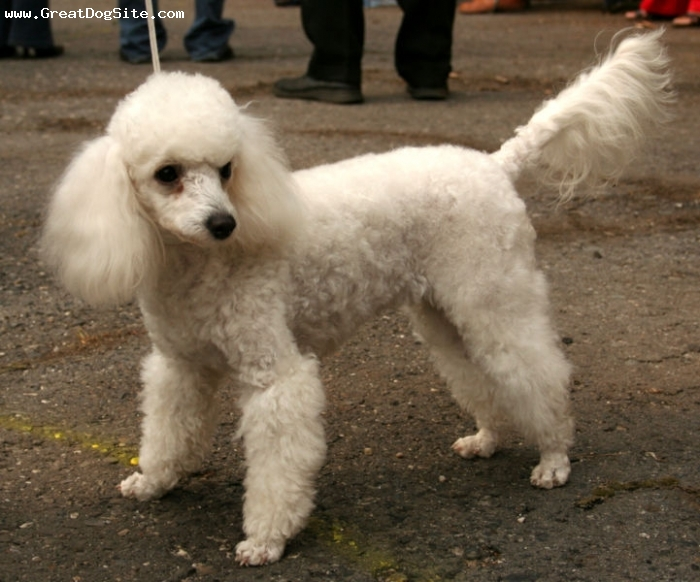 Miniature Poodle, 9 months, White, at a show