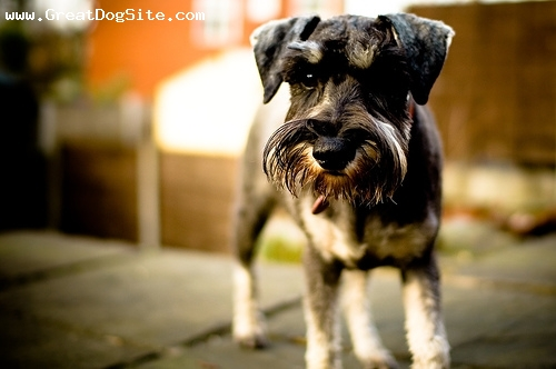 Miniature Schnauzer, 1 year, Black, he's a bit older now