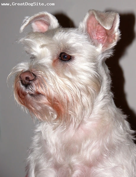 Miniature Schnauzer, 1 year, White, she has a dirty mouth