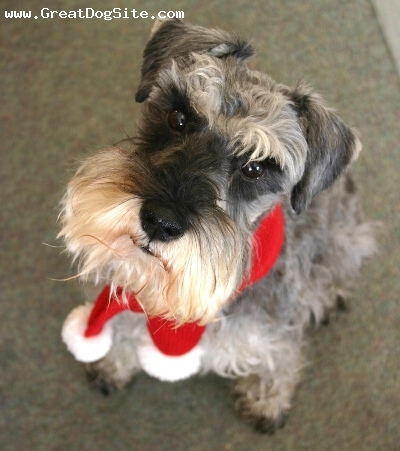 Miniature Schnauzer, 1.5 years, Gray, at christmas