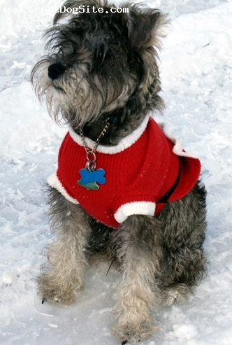 Miniature Schnauzer, 6 mos., salt and pepper, Christmas in Idaho