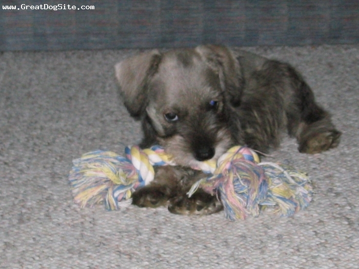 Miniature Schnauzer, 6 wks, salt & pepper, enjoying her chew toy