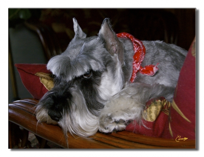 Miniature Schnauzer, 6, Salt & pepper, Now 9 years old. Lovely, intelligent, quiet. A very pleasant dog that makes their owners proud and happy. Weight about 20 pounds.