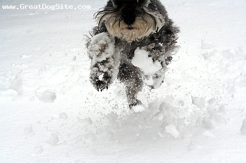 Miniature Schnauzer, 8 months, Gray, Running in the snow