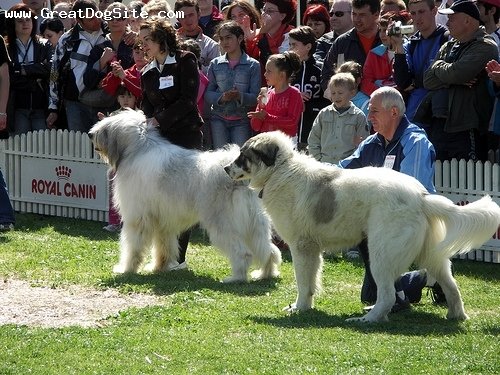 Mioritic Sheepdog, 2 years, White, at a show